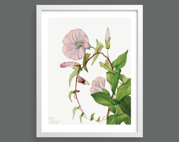 Hedge Bindweed (Calystegia Convolvulus Sepium) by Mary Vaux Walcott