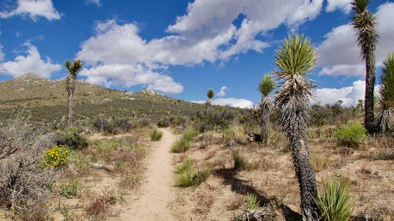 Joshua trees along the trail