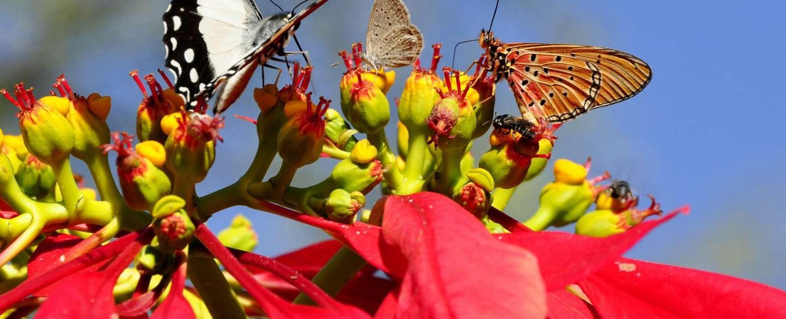 Poinsetia sau Euphorbia (floarea craciunului)