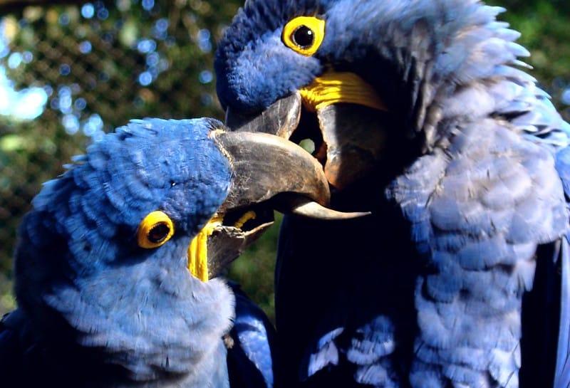 Duas araras-azuis. Seus bicos curvos e resistentes são adaptados para quebrar frutos duros.