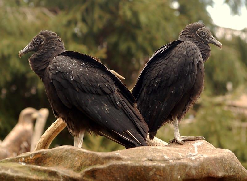 Dois urubus-de-cabeça-preta. Se alimentam de animais em decomposição. Seu bico é mais fraco do que o das aves carnívoras portanto, têm dificuldade em rasgar o couro dos animais. O trabalho em grupo facilita essa tarefa.