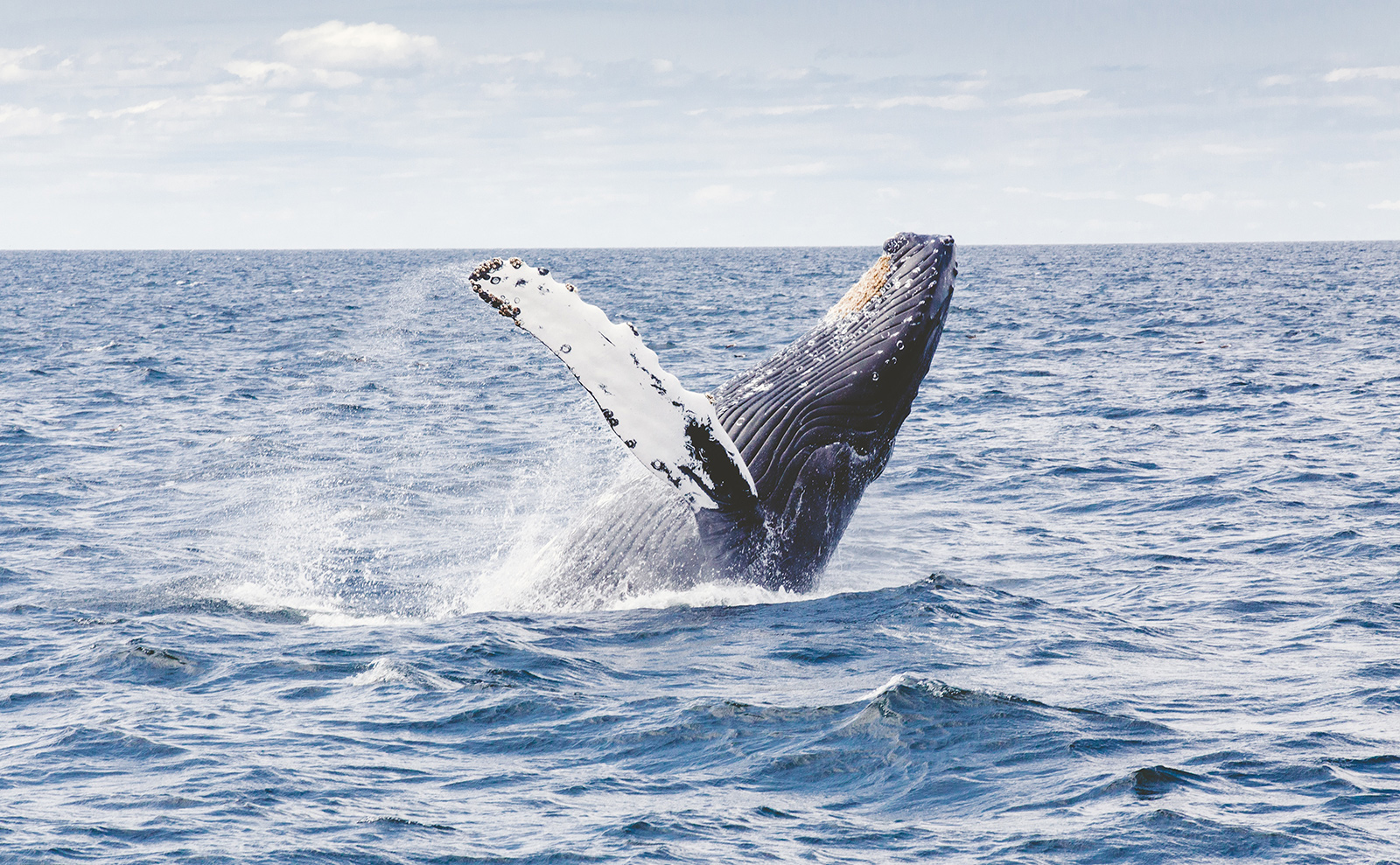 whale jumping out of the ocean