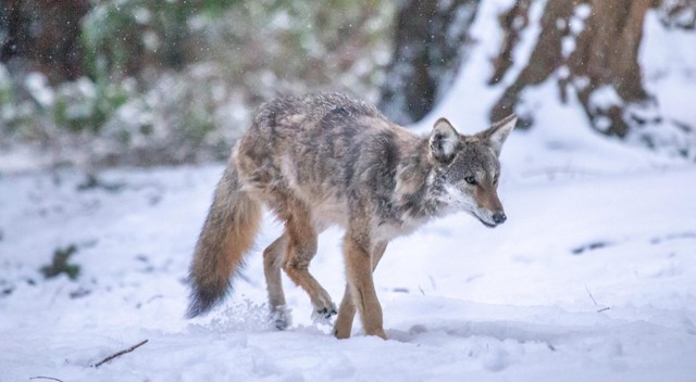 Kip, UBC's resident coyote, walks through snow