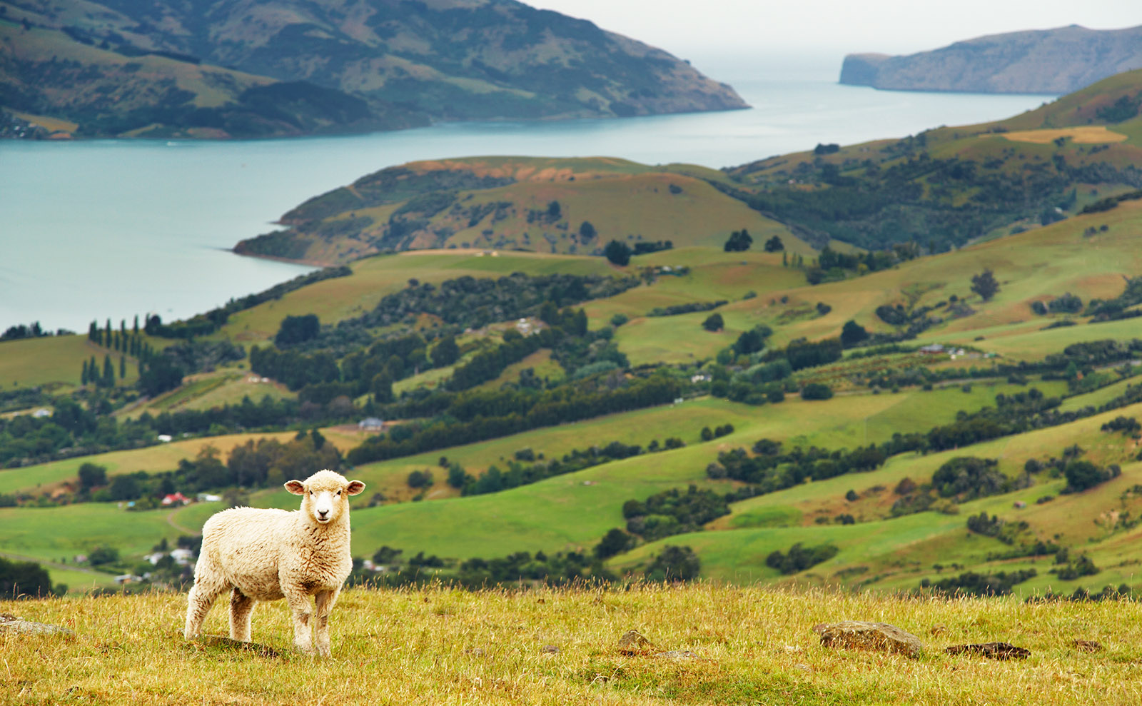 a sheep standing in the green grass overlooking the coast in new zealand
