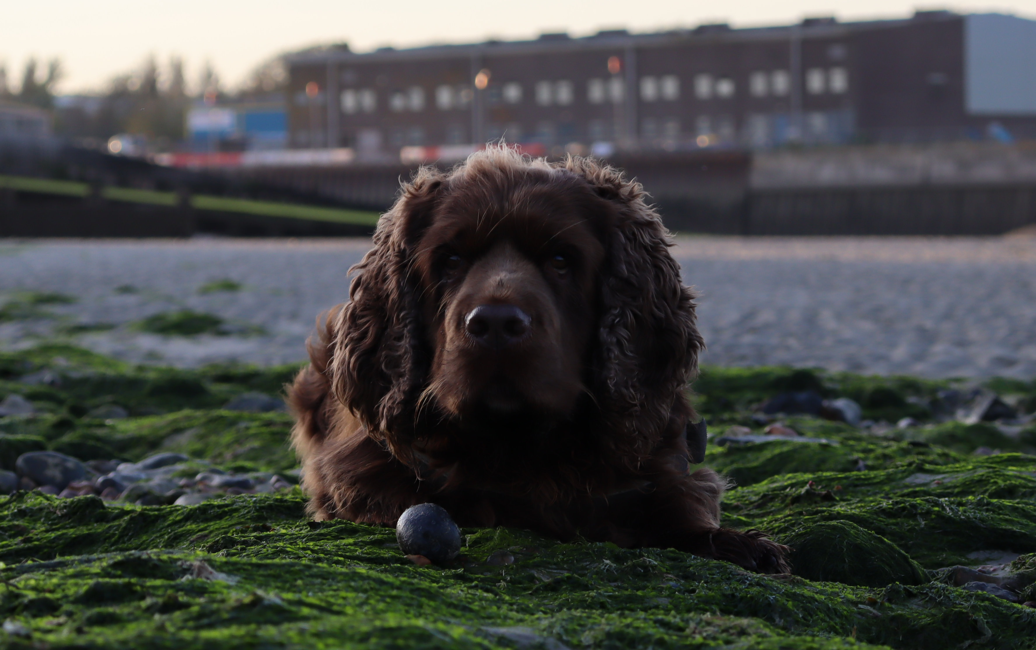 Bruno the Sussex spaniel laying on some green seaweed with a stone between his front paws.