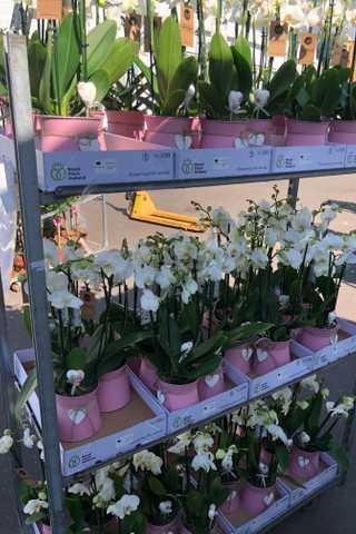 Orchidee in zinken pot