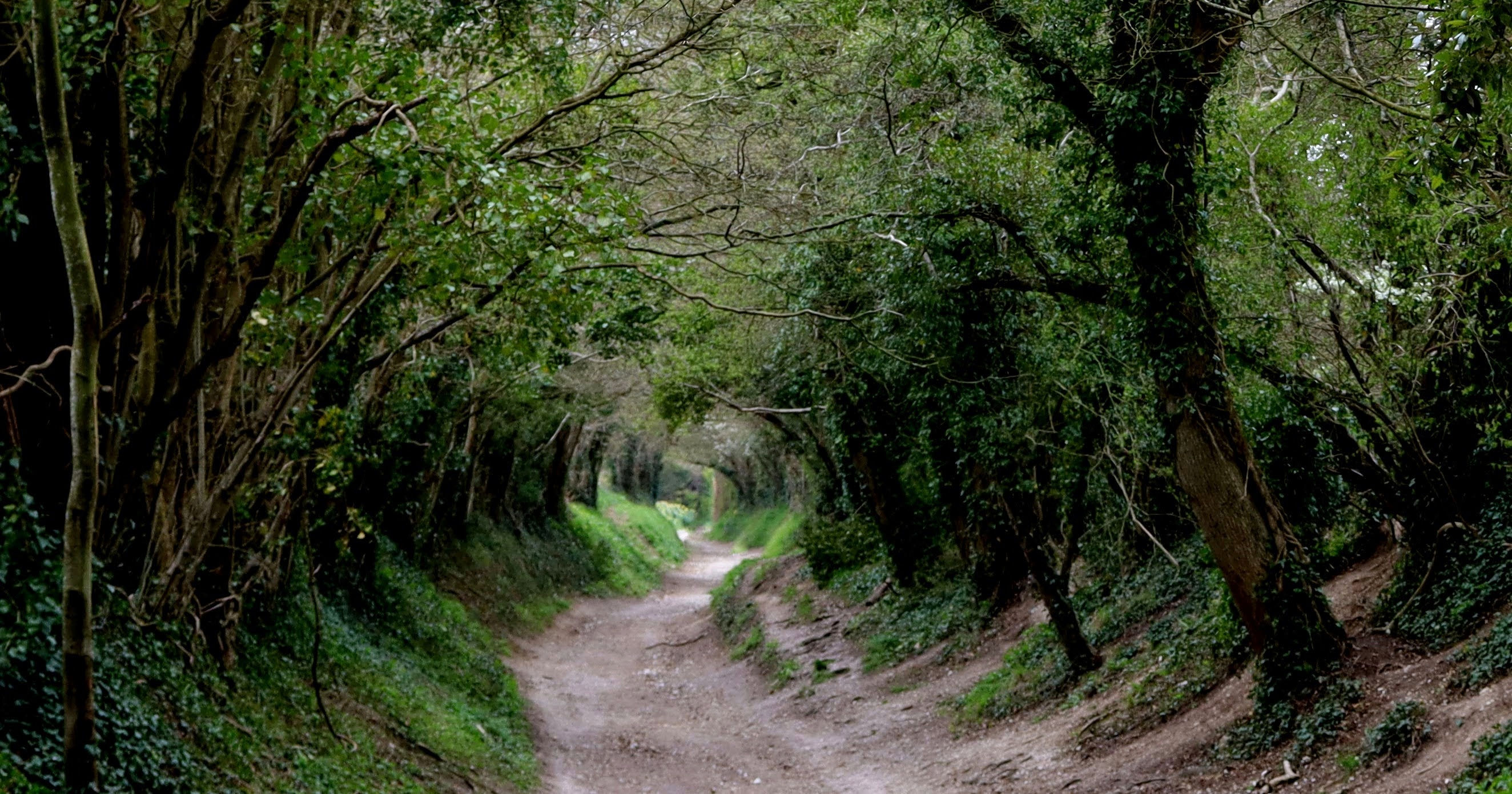 A tunnel of trees that line the path to Halnaker Mill.