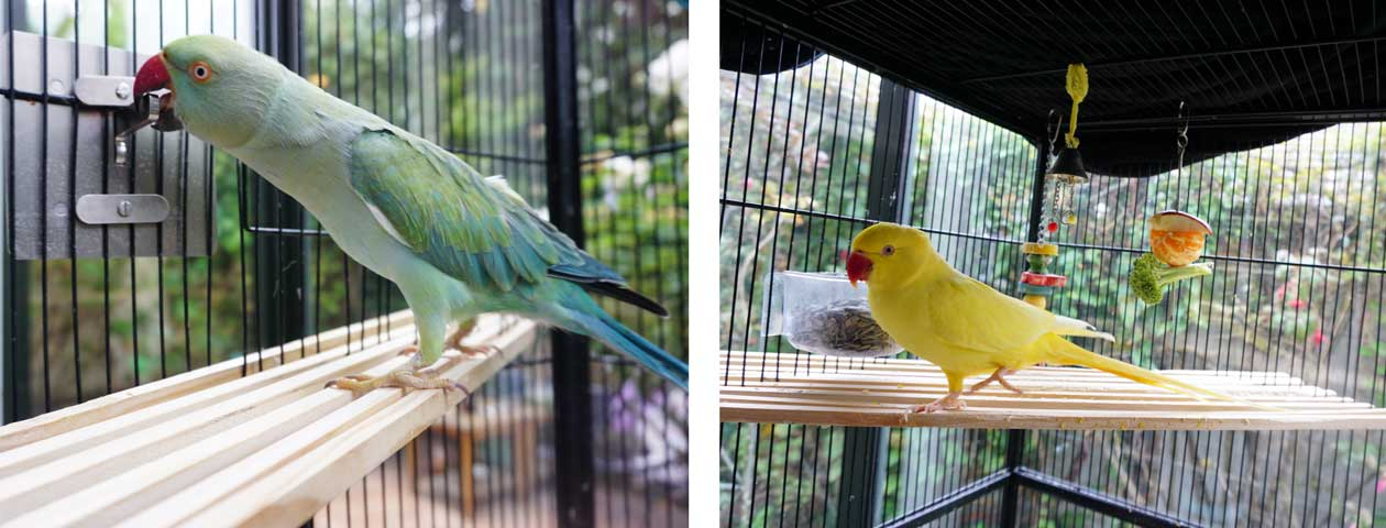 Chika and Magick the Indian Ringnecks enjoying their bird balconies