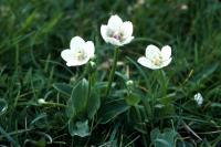 Grass-of-Parnassus flowering on Spiggie Links