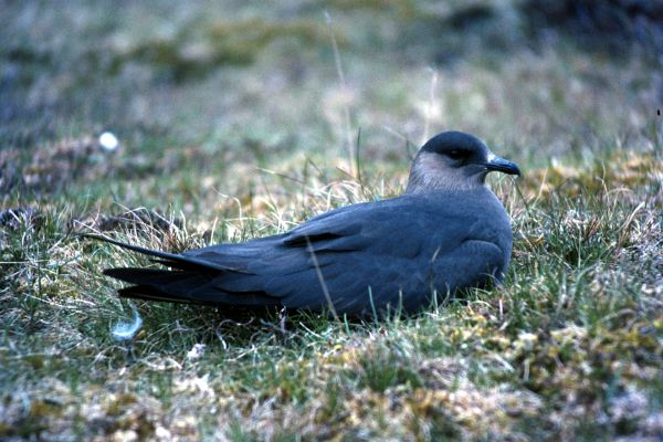 An Arctic Skua sits on the grass