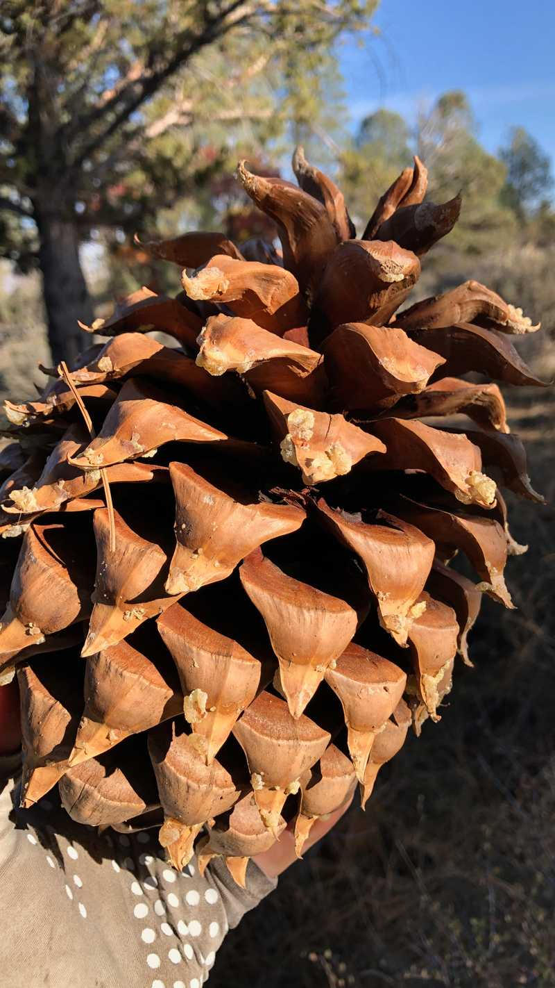 A giant pine cone