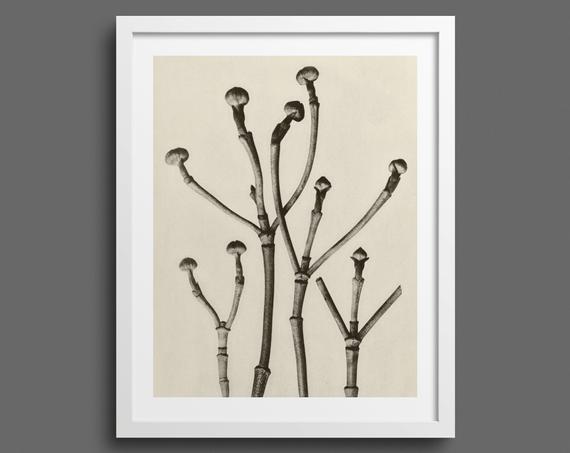 Flowering Dogwood by Karl Blossfeldt – Plate 18