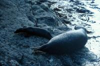 A Common Seal & pup by the water's edge