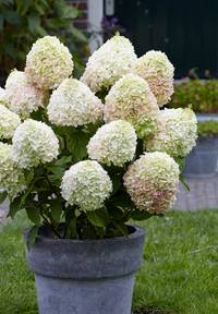 Hydrangea paniculata Living Summer Love®