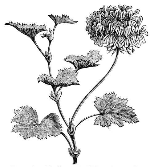 A horseshoe geranium flower