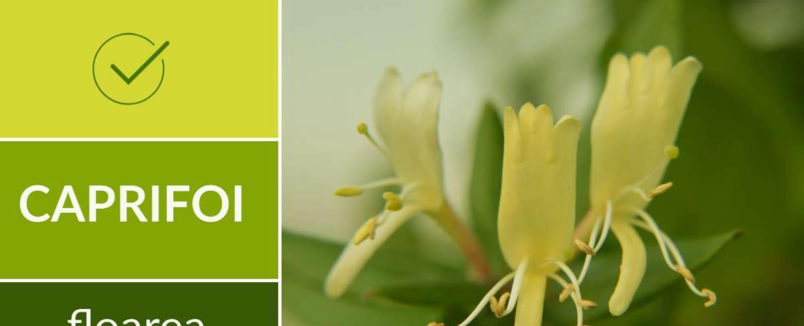 Caprifoi floarea cu efect antiviral 😷 (Mâna Maicii Domnului)!