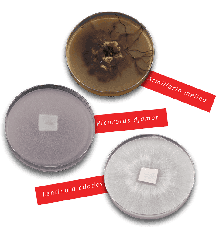 Mother cultures on Petri dishes   MycoLabs