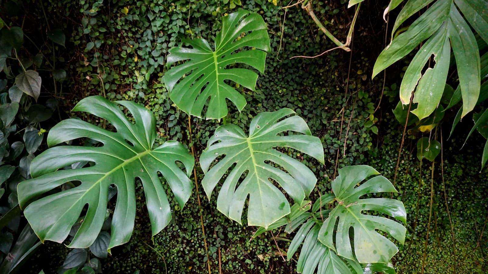 Monstera plants in Madrid's Real Botanical Garden