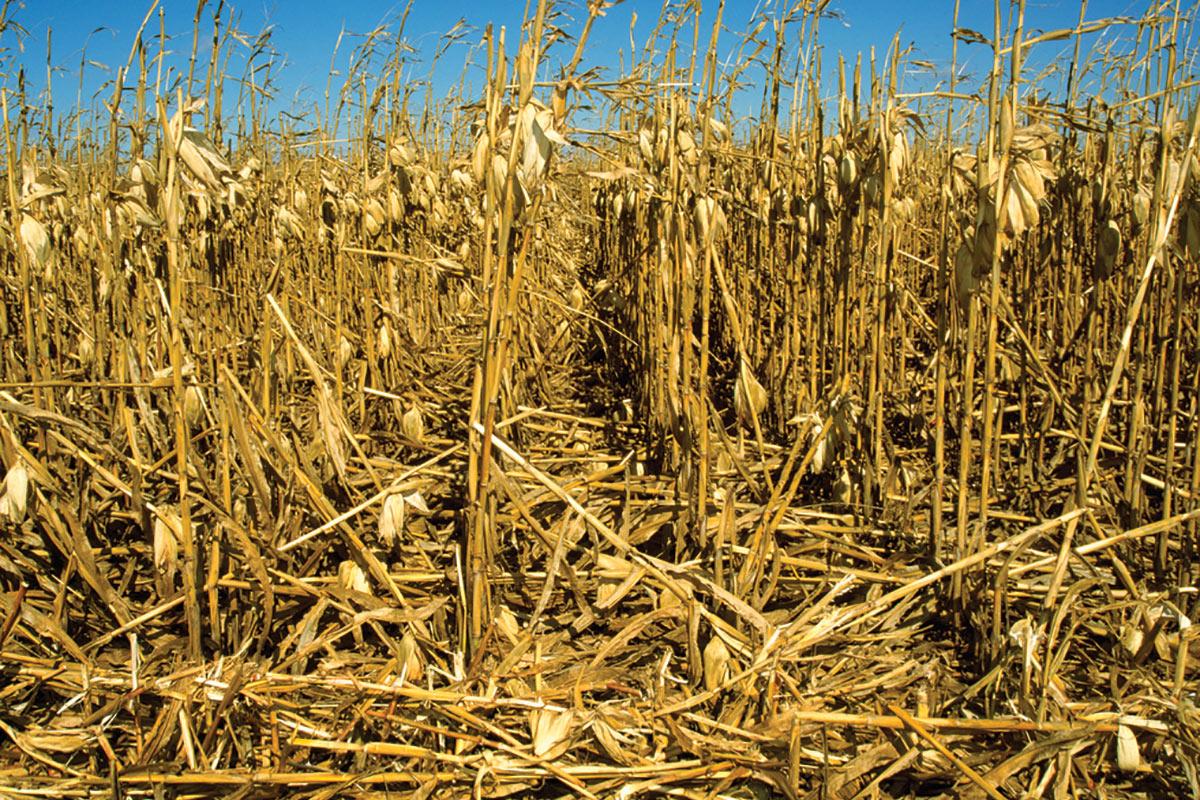 down_corn