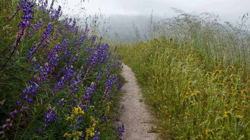 Lupines and tall grass