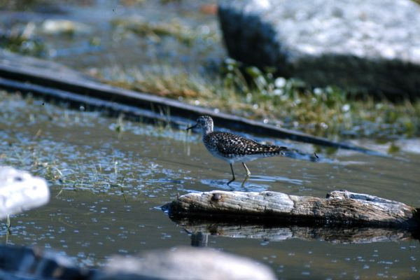 A Wood Sandpiper wades in a small loch
