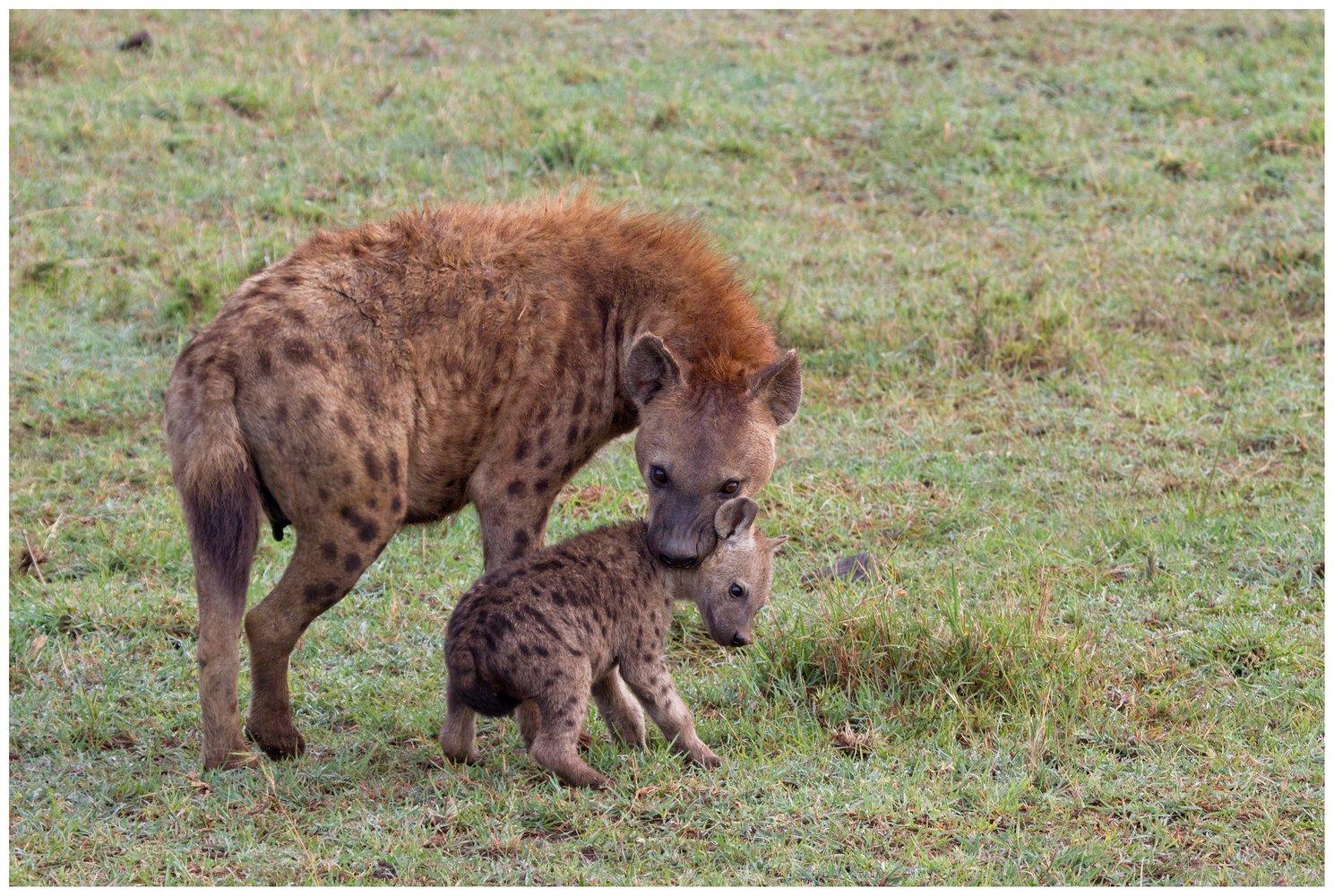 Самка гиены сдетенышем. Фото: Martha deJong-Lantink / Flick