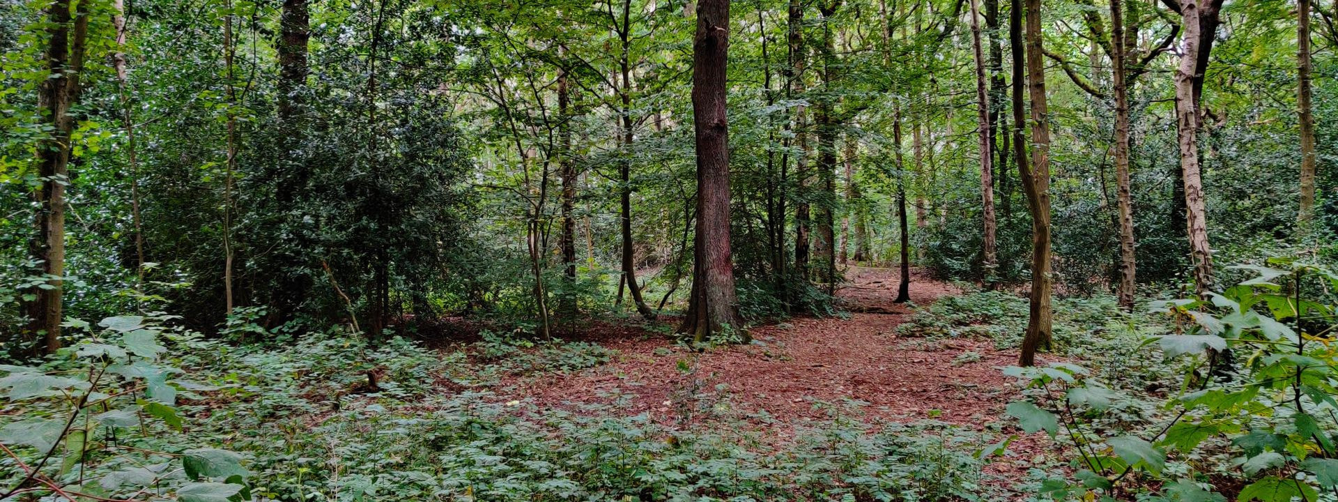 Middleton Wood trees and undergrowth
