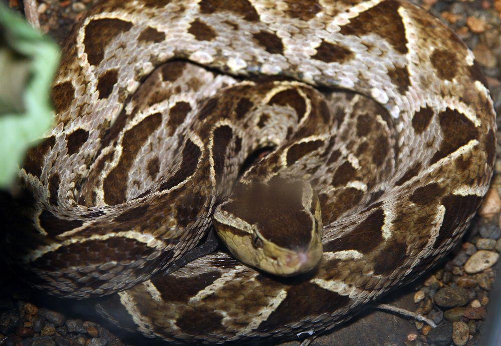Serpiente de terciopelo enrollada sobre si misma.