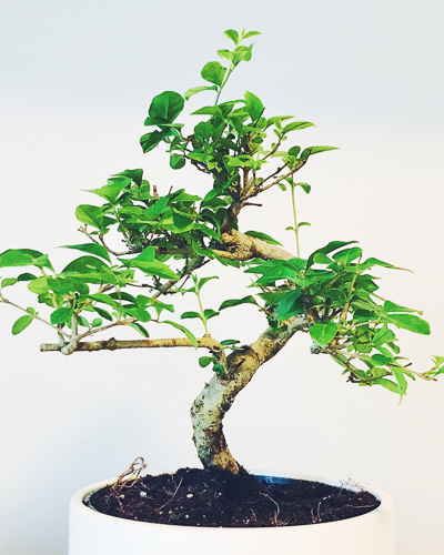 Bonsai tree at Jack's Creative Studio