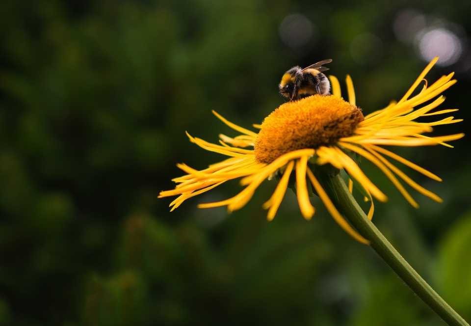 The bee, endangered, sits, pollenating a sunflower, which is a wildflower.