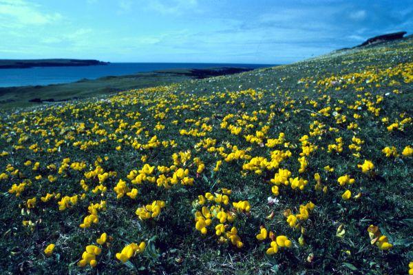 A field of bird's-foot-trefoil