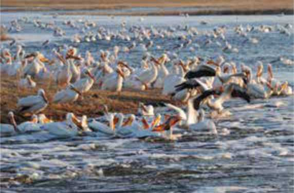 Pelicans fishing in the spring runoff