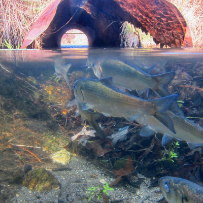 Photo of migrating alewives