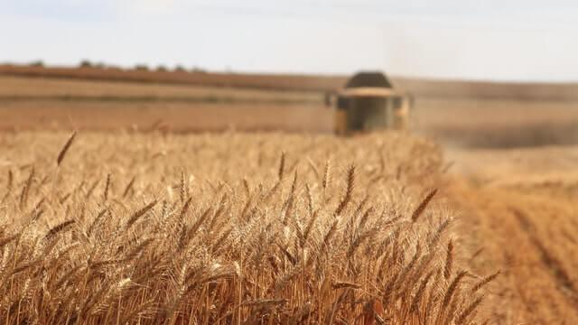 Imagem uma colheita de trigo