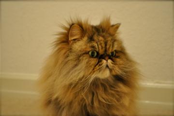 Head shot of Bob the cat