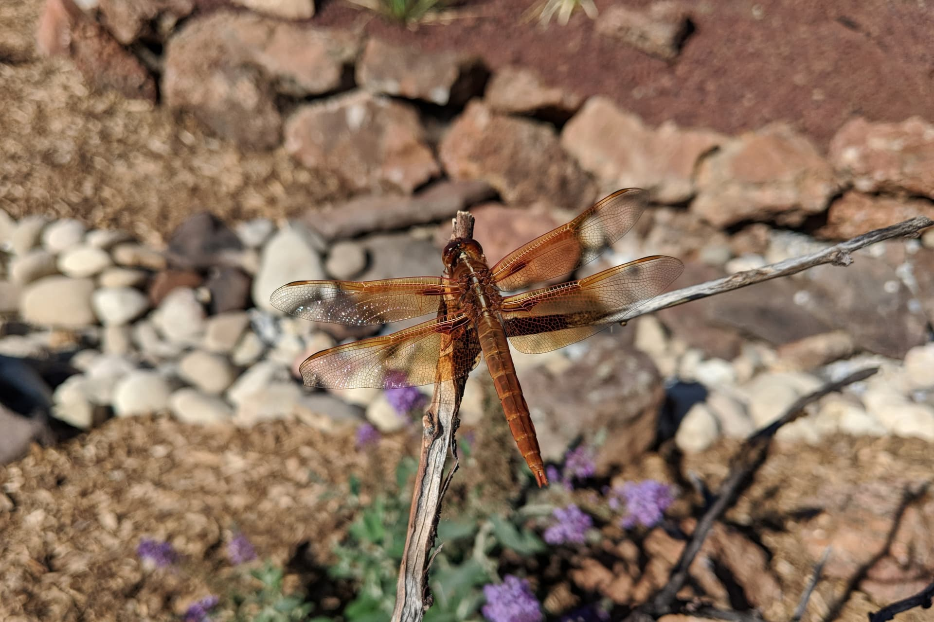 A large, red-orange dragonfly rests on a tree branch.