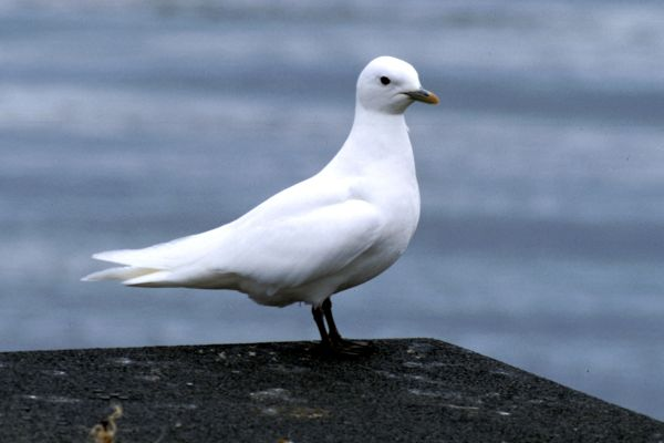 An Ivory Gull stands on the edge of a pier
