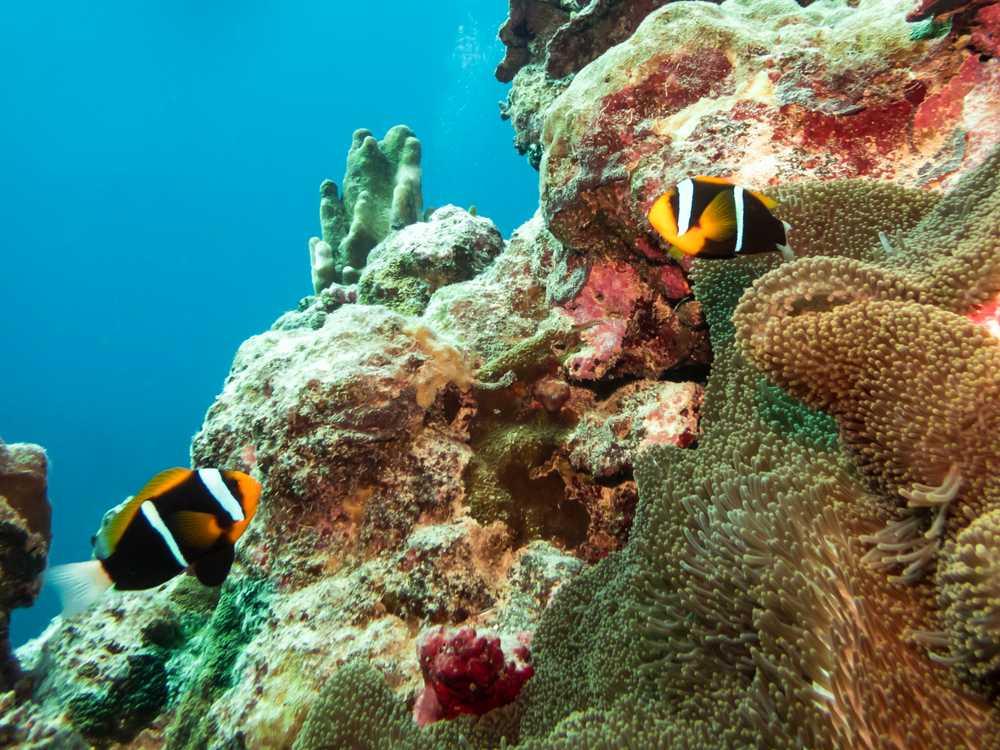 Anemonefish, Coral Sea