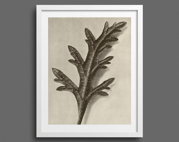 Canadian Vervain - Plate 39