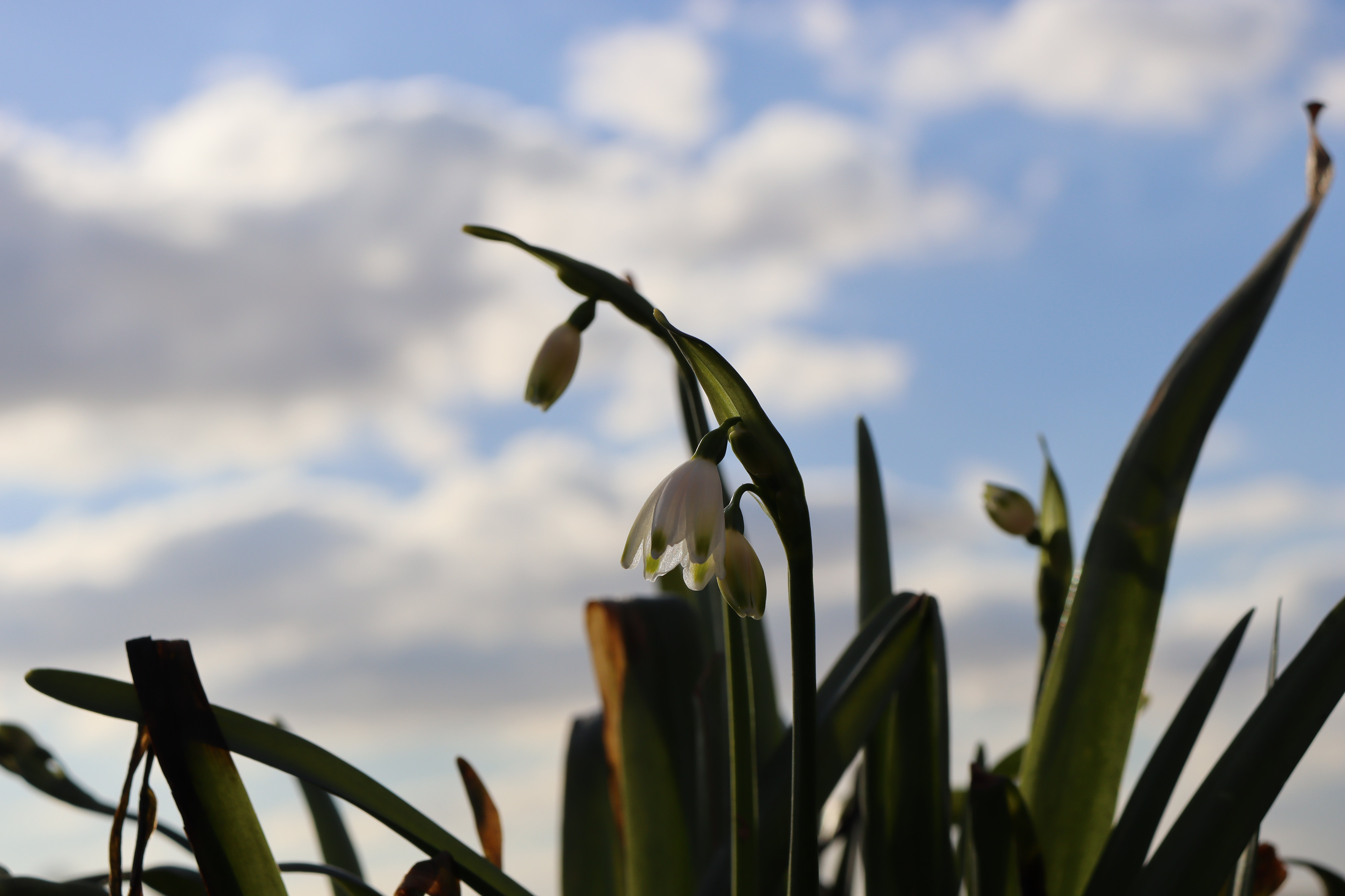 A close up of some white flowers that have green stems.