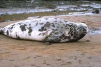 Hooded  Seal.
