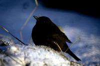A Blackbird sits on the snow