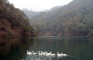 Geese enjoy a swim on the forest-fringed Sat Tal lake. Our estate borders the lake. Photo: Sushma Date