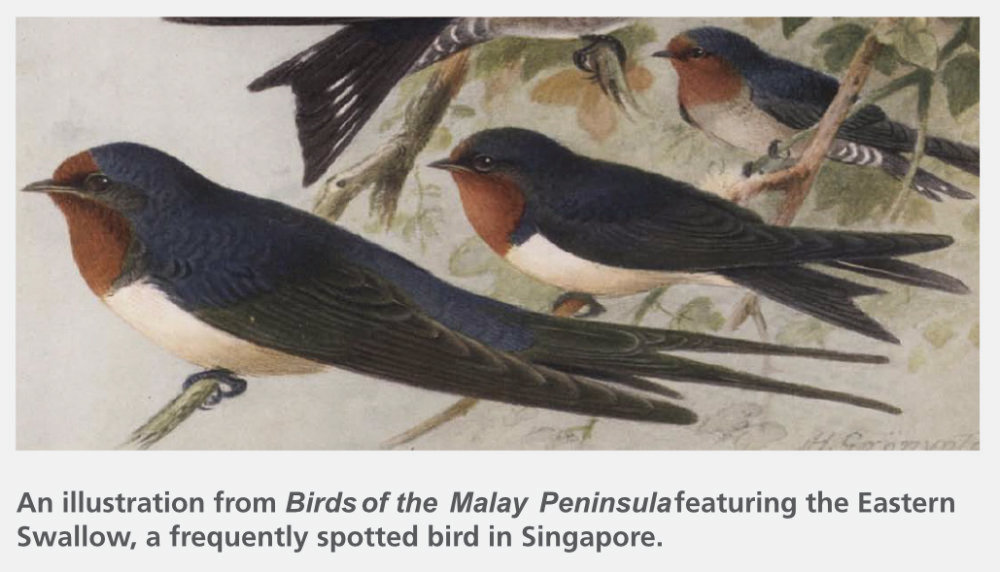 An illustration from Birds of the Malay Peninsula featuring the Eastern Swallow, a frequently spotted bird in Singapore.