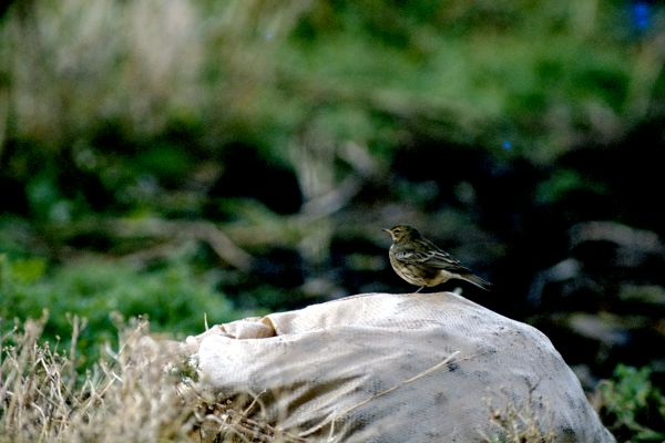 A Meadow Pipit perches on a bag