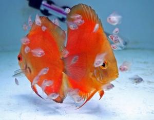 Successful Tropical Fish Breeding
