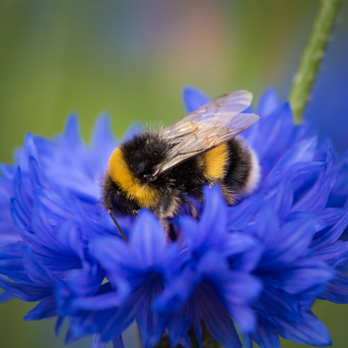 A bumblebee on a blue flower