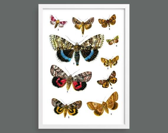 Butterflies and Moths – Plate 10
