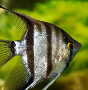 Angelfish (Pterophyllum Eimekei)