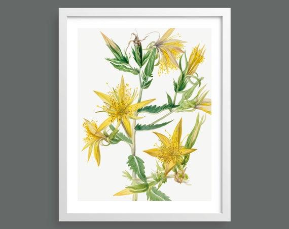 Blazing Star Flower (Mentzelia Laevicaulis)  by Mary Vaux Walcott
